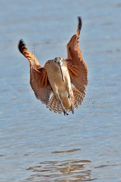 Long-billed Curlew, Flight,<br /> Aransas National Wildlife Refuge, Texas