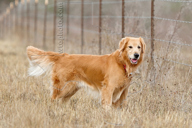 Golden Retriever 'Buddy' Enjoying the Country,<br /> near Nordheim, TX