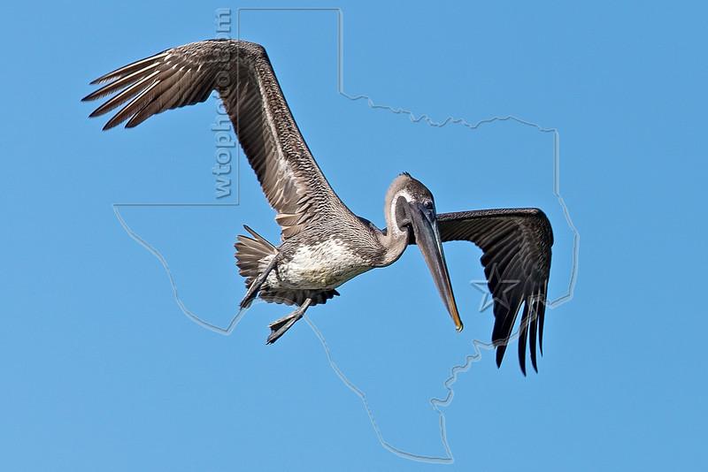 Juvenile Brown Pelican, Flight, Preparing to Dive,<br /> Freeport Jetty, Texas