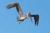 Juvenile Brown Pelican, Flight, Preparing to Dive,<br /> Freeport Jetty, Texas