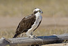 Osprey, Resting on Log,<br /> Matagorda Island, TX