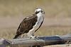 Osprey, Resting on Log,<br /> Matagorda Island, TX
