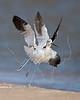American Avocet, Winter Plumage, Chasing,<br /> Matagorda Island, TX