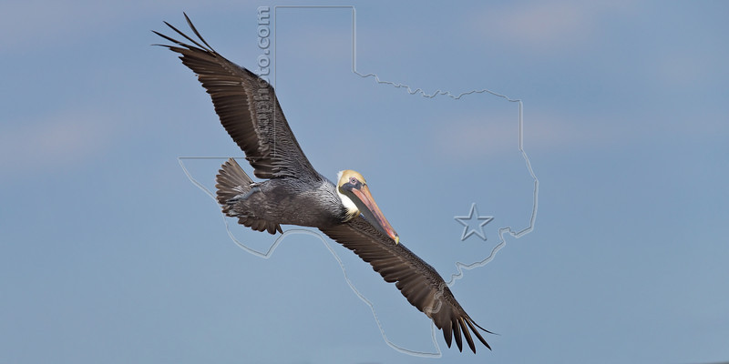 Brown Pelicanl, Flight<br /> Matagorda Island, TX
