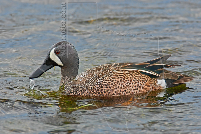 Blue-winged Teal Duck, Male,<br /> Brazos Bend State Park, Texas<br /> Brazos Bend State Park, Texas
