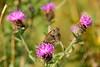 Meadow Bown Butterfly
