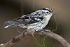 Black and White Warbler,<br /> Lafitte's Cove, Galveston, TX