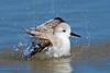 Sanderling, Bathing<br /> East Beach, Galveston, Texas