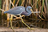 Tricolored Heron,<br /> Brazos Bend State Park, Texas