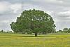 Nueces Coreopsis (coreopsis nuecensoides),<br /> Nordheim, Dewitt County, Texas