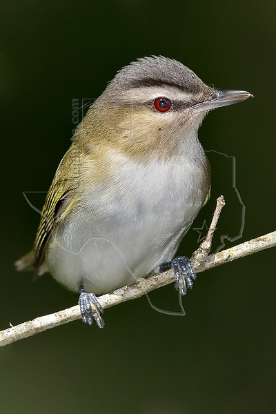 Red-eyed Vireo,<br /> Lafitte's Cove, Galveston, TX