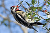 Yellow-bellied Sapsucker Woodpecker,<br /> Brazos Bend State Park, Texas