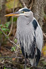 Great Blue Heron,<br /> Brazos Bend State Park, Texas