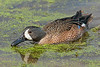 Blue-winged Teal Duck, Male,<br /> Brazos Bend State Park, Texas