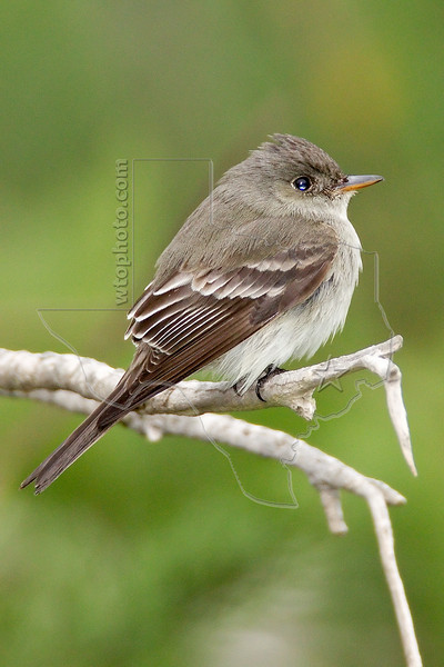 Eastern Wood-Pewee,<br /> Quintana Neotropical Bird Sanctuary, Quintana, Texas