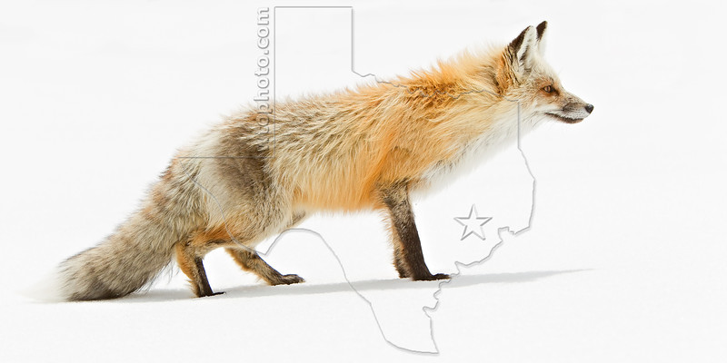 Red Fox and Snow, Beartooth Pass,<br /> Near Yellowstone National Park<br /> Wyoming, USA