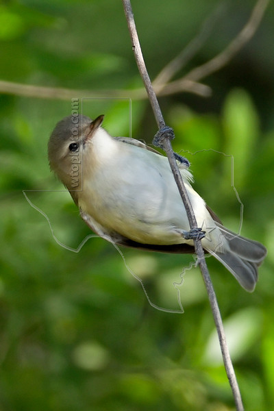 Warbling Vireo,<br /> Quintana Neotropical Bird Sanctuary, Quintana, Texas
