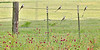 Scissor-tailed Flycatchers and Wildflowers,<br /> Nordheim, Texas