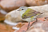 Tennessee Warbler, Male,<br /> Quintana Neotropical Bird Sanctuary, Quintana, Texas