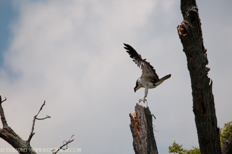 Osprey at Mason Neck