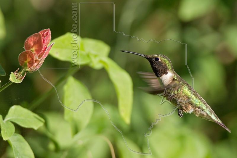Black-chinned Hummingbird,<br /> Quintana Neotropical Bird Sanctuary, Quintana, Texas