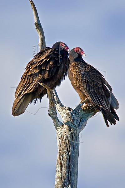 Turkey Vulture,<br /> Brazos Bend State Park, Texas