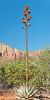 Palmer's Agave,<br /> Red Rock Wilderness,<br /> near Sedona, Arizona