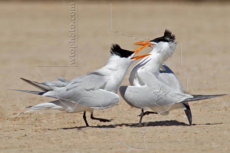 Male Royal Terns Dominance Challenge,<br /> Bryan Beach, Quintana, Texas