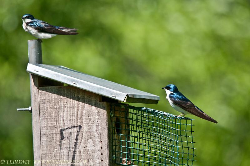 Tree Swallow at Mason Neck