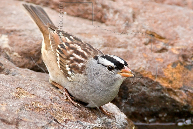 White-crowned Sparrow,<br /> Quintana Neotropical Bird Sanctuary, Quintana, Texas