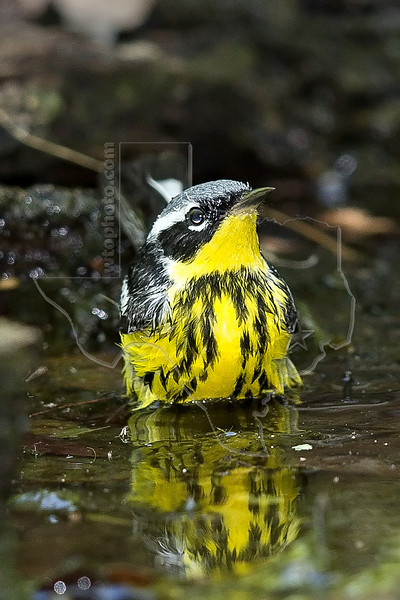 Magnolia Warbler, Male,<br /> Lafitte's Cove, Galveston, TX