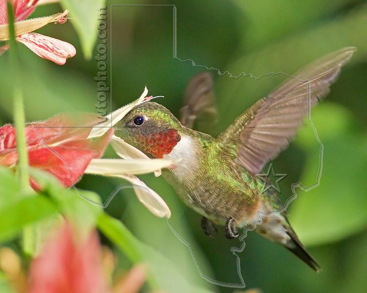Ruby-throated Hummingbird,<br /> Quintana Neotropical Bird Sanctuary, Quintana, Texas
