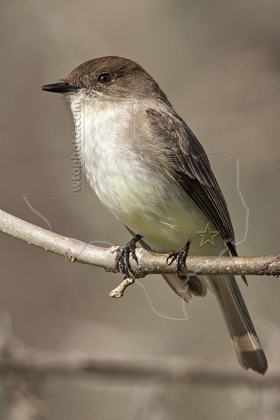 Eastern Phoebe,<br /> Brazos Bend State Park, Texas