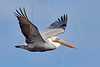 Brown Pelican, Flight<br /> Matagorda Island, TX