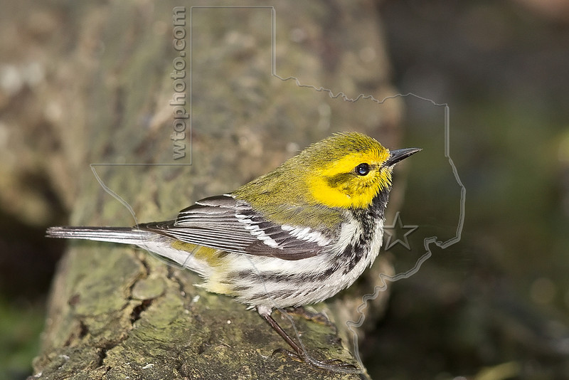 Black-throated Green Warbler,<br /> Lafitte's Cove, Galveston, TX