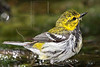 Black-throated Green Warbler, Bathing, Wet,<br /> Lafitte's Cove, Galveston, TX