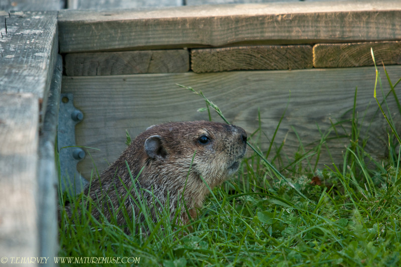 Groundhog at Mason Neck