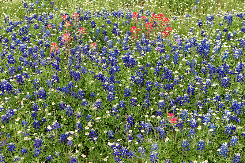 Red, White, and Blue<br /> Texas Bluebonnet  (lupinus texensis), Texas Paintbrush (castilleja indivisa), and Lazy Daisy (Aphanostephus skirrhobasis)<br /> Nordheim, Dewitt County, Texas