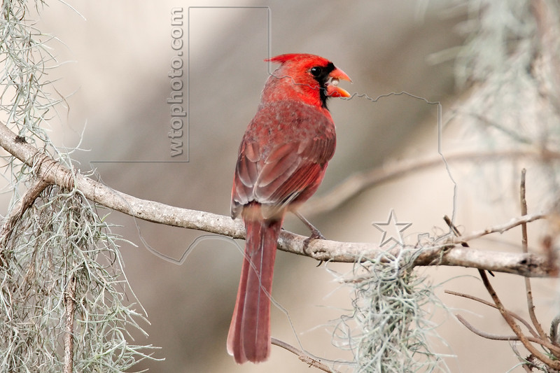 Northern Cardinal, Male,<br /> Brazos Bend State Park, Texas