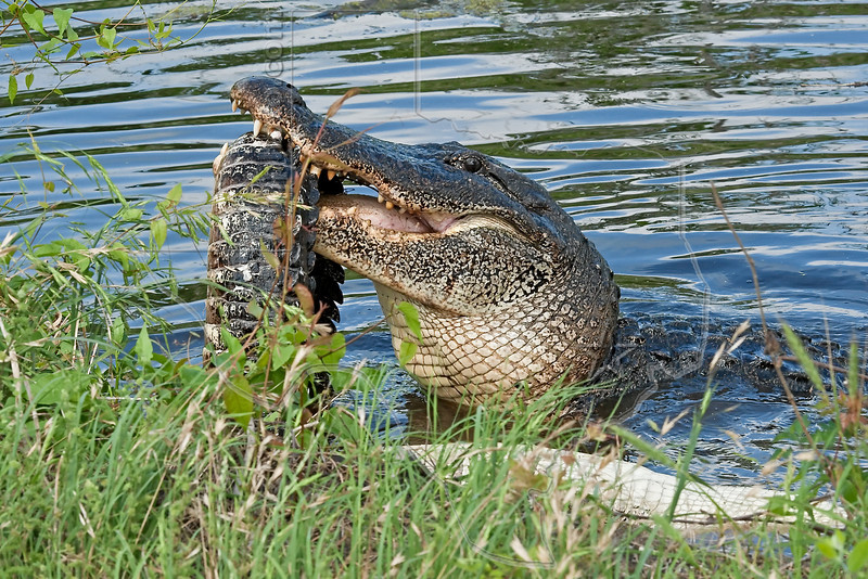 American Alligator, Eating an Alligator,<br /> Trying to Separate Tail from Body,<br /> Brazos Bend State Park, Texas