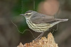 Northern Waterthrush,<br /> Lafitte's Cove, Galveston, TX