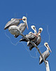 Brown Pelicans, Sitting on Light Pole,<br /> Goose Island State Park, Texas