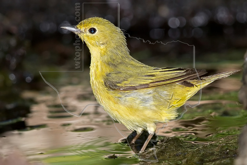 Yellow Warbler, Female, Bathing,<br /> Lafitte's Cove, Galveston, TX