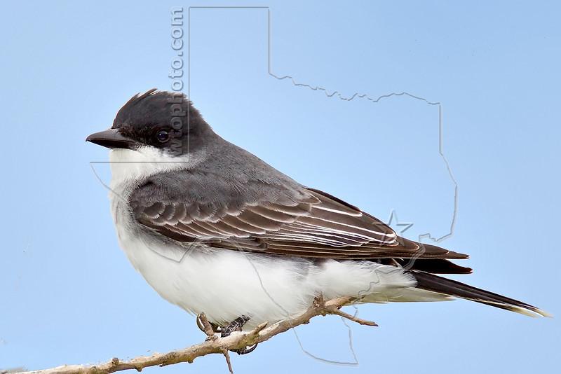 Eastern Kingbird,<br /> Quintana Neotropical Bird Sanctuary, Quintana, Texas