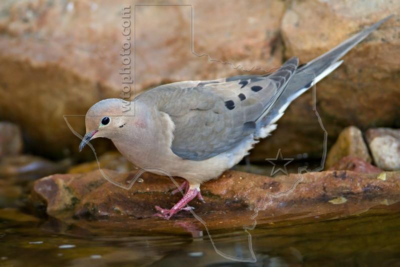 Mourning Dove,<br /> Quintana Neotropical Bird Sanctuary, Quintana, Texas