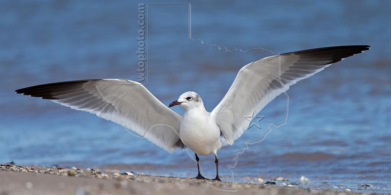 Laughing Gull, Stretching Wings,<br /> Matagorda Island, TX