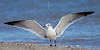 Laughing Gull, Stretching Wings,<br /> Matagorda Island, TX