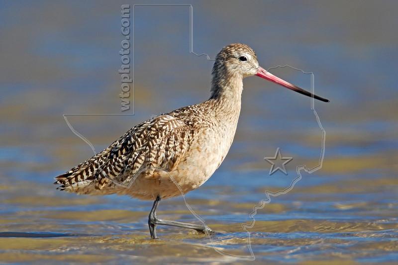 Marbled Godwit,<br /> Bolivar Flats Shorebird Sanctuary - Texas