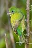 Painted Bunting, Female,<br /> Quintana Neotropical Bird Sanctuary, Quintana, Texas