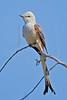 Scissor-tailed Flycatcher,<br /> Quintana Neotropical Bird Sanctuary, Quintana, Texas